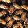 Africanized bees aggressively defend their nests and sting quickly.