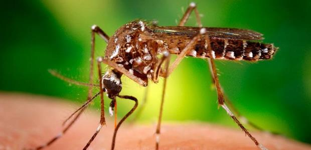 Zika virus is transmitted to people primarily through the bite of an infected Aedes species mosquito, the mosquitoes that alos spread dengue and chikungunya viruses.