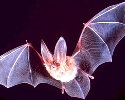 The October 2009 death of an Indiana man from rabies linked to a type of bat prompted the CDC recommendations.