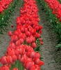 This photo from www.skagitcounty.info is just a hint of the tulips that make the county world famous.