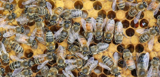 Bee stings caused most of the occupational fatalities during 2003-2010 that were related to insect bites and stings, according to the BLS paper.
