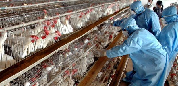 The new avian influenza strain detected in birds in three Southeast Asia countries is highly lethal to poultry, the UN agency reported Sept. 22, 2014.