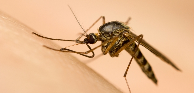 Malaria is transmitted among humans by female mosquitoes of the genus Anopheles.