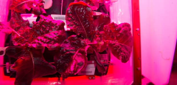 "This NASA photo shows ""Outredgeous"" red romaine lettuce from the Veggie plant growth system on the International Space Station, which astronauts will sample for the first time Aug. 10, 2015."