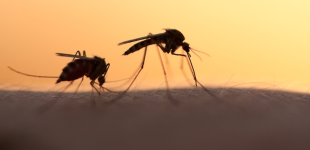 The parasites that cause malaria are transmitted to humans through the bite of an infected mosquito. The PfSPZ Vaccine is composed of live, but weakened P. falciparum sporozoites — the early developmental form of the parasite.