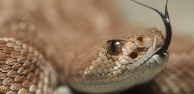 CDC Links a Salmonella Infection to Rattlesnake Pills