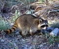 The 2013 death in Maryland was only the second reported human death in the United States from a raccoon-type rabies virus, CDC reported.